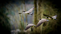 Canada Goose in Flight - Lake Sammamish State Park, WA U.S.A.