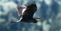 Heron In Flight - Skykomish, WA U.S.A.